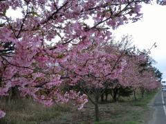 白子町の河津桜