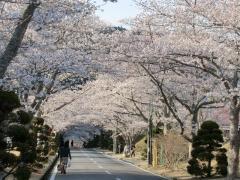 房総カントリーの桜のトンネル